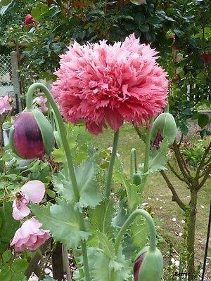 de 100 graines de pavot fleurs de pivoine rose flowers pinterest fleur de pivoine. Black Bedroom Furniture Sets. Home Design Ideas