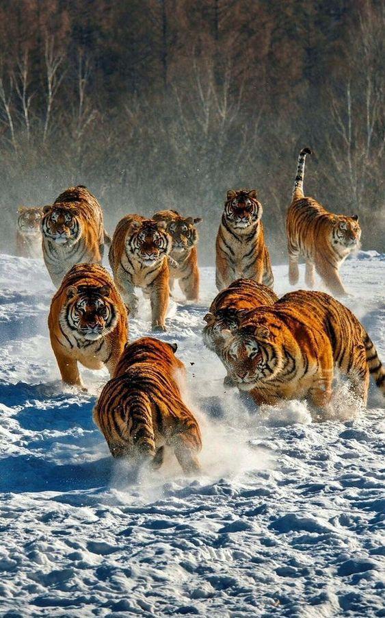 Pin Von Anna Plociennik Auf Bigcats Tiere Katzen Majestatische