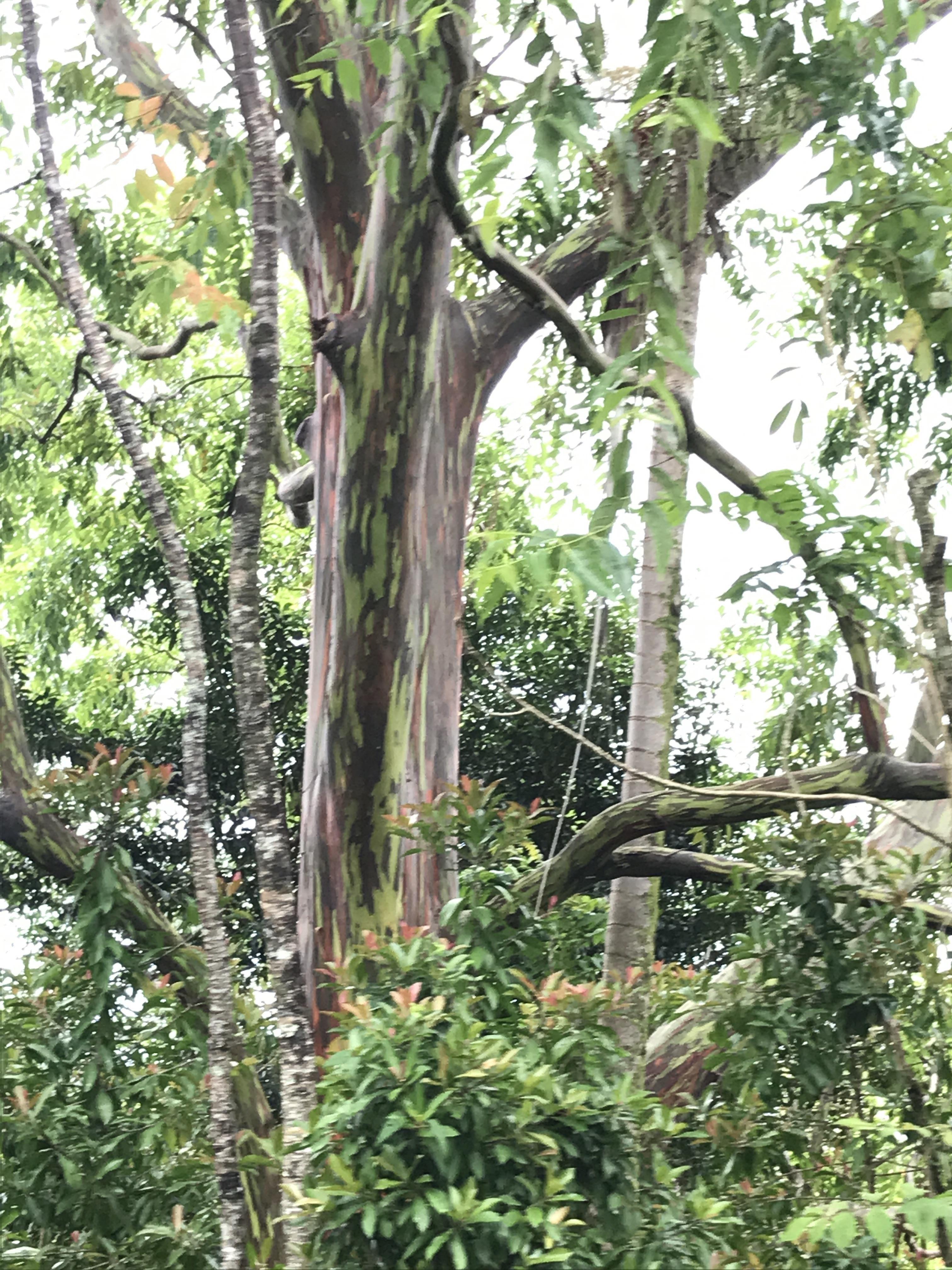 The colorful bark on a raid bow eucalyptus tree #tree   Tree ...