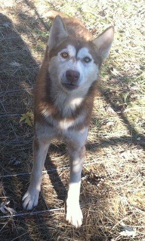 Adopt Cinnamon On Husky Nanny Dog Siberian Husky Dog