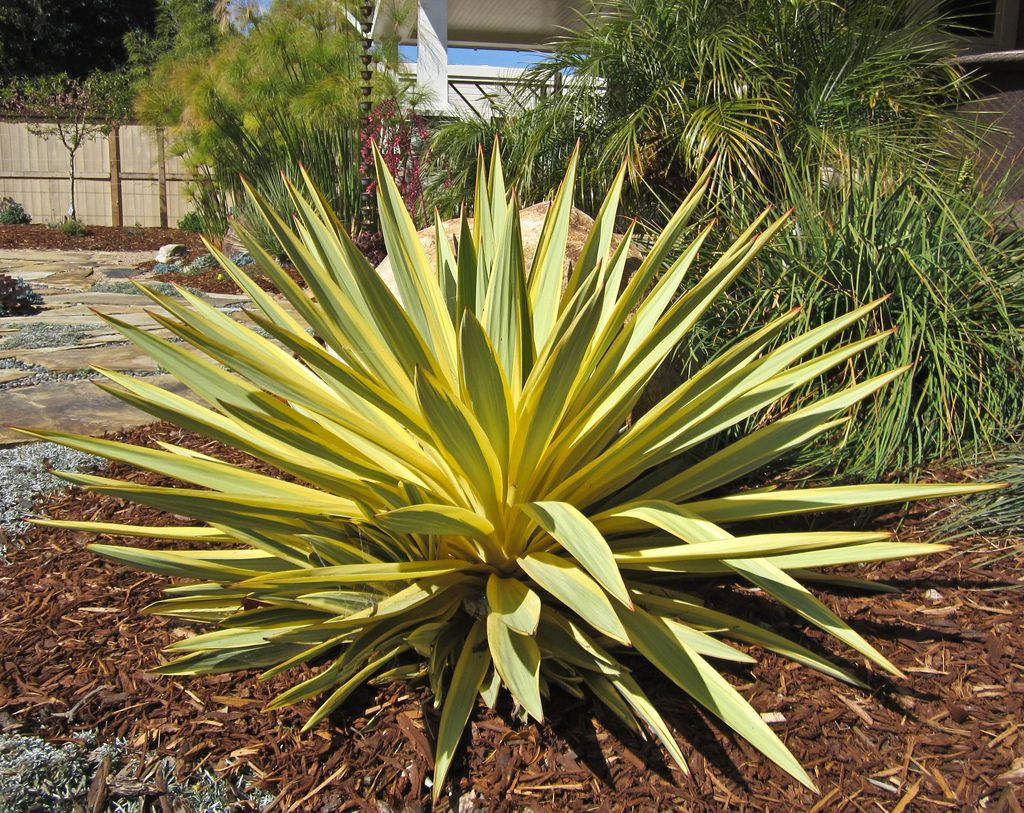 Yucca Bright Star Courtyard Pinterest
