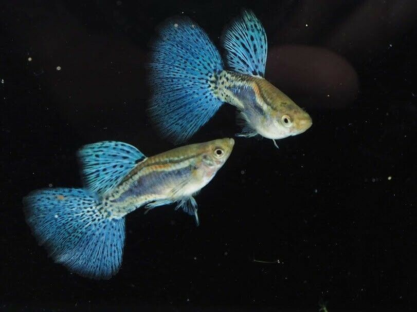 Guppy Blue Grass Pair Live Fish Male Female Breeding Guppies Guppy Fish Freshwater Aquarium Fish Guppy