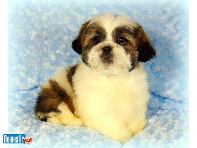 Palm Springs California United States Puppies For Sale Shih
