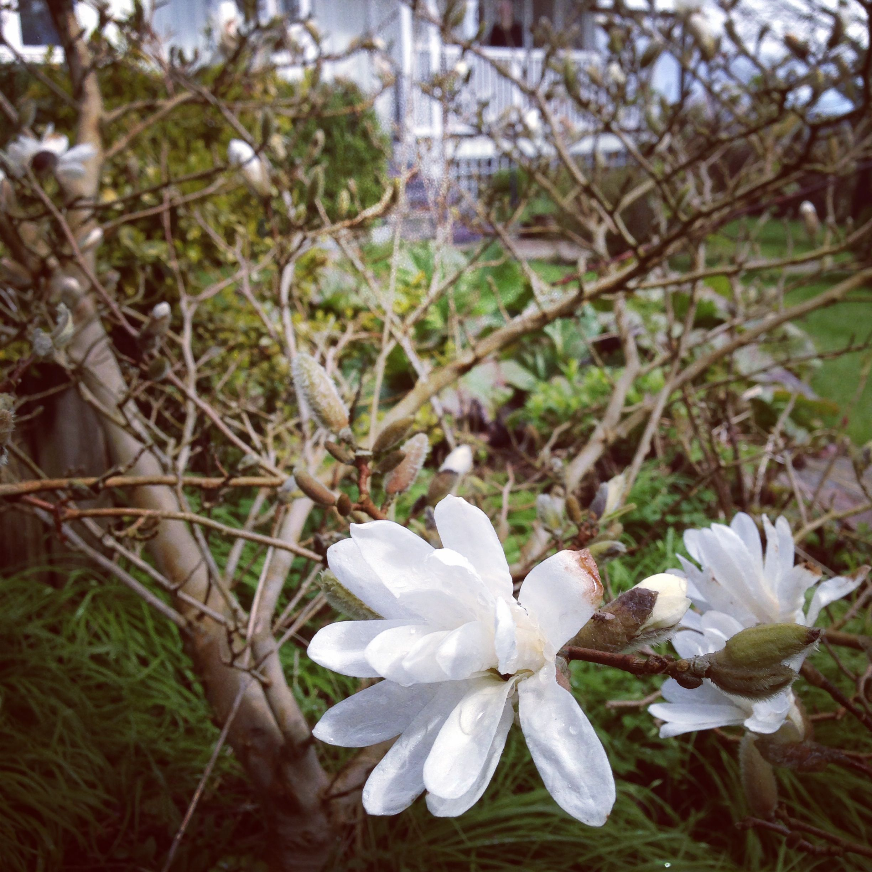 Stjärnmagnolian blommar.