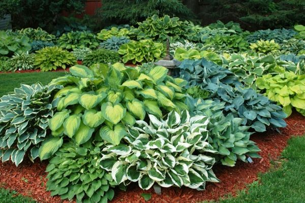 Funkien Pflanzen Toll Fur Den Garten Und Fur Die Kuche Pflanzen Bepflanzung Hosta Pflanzen