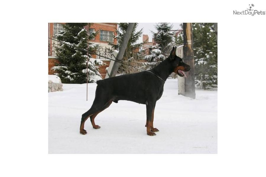 Meet Protection Lines A Cute Doberman Pinscher Puppy For Sale For