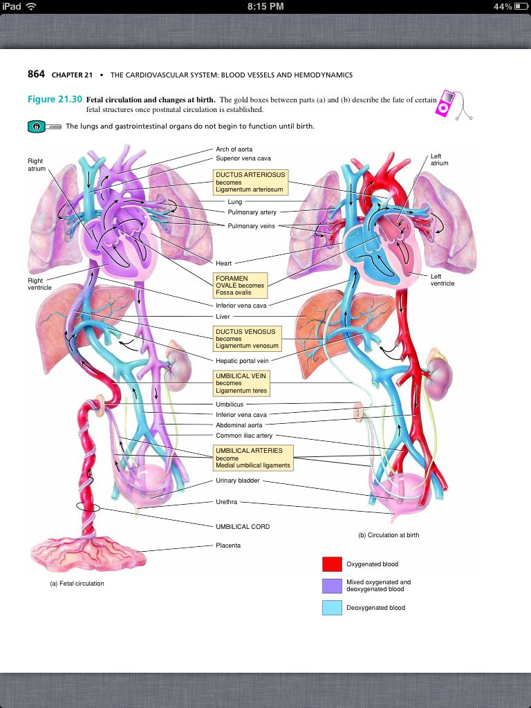Principles Of Anatomy And Physiology Chapter 21 The Cardiovascular
