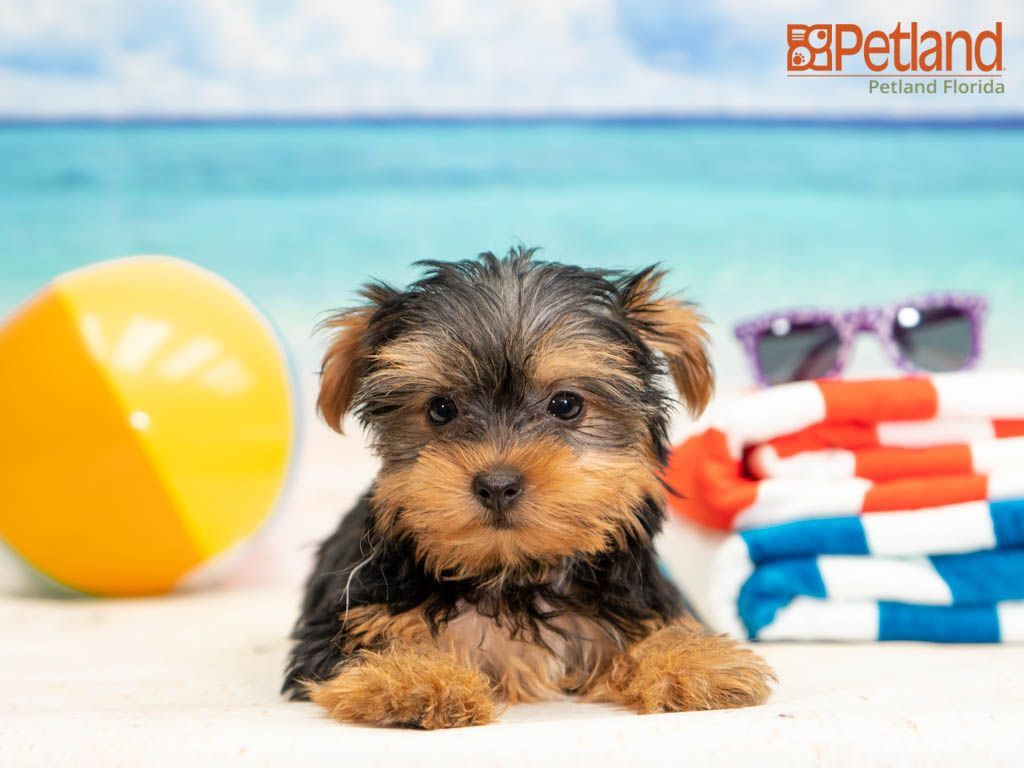 Yorkie Puppies For Sale In Florida Under $500 2021