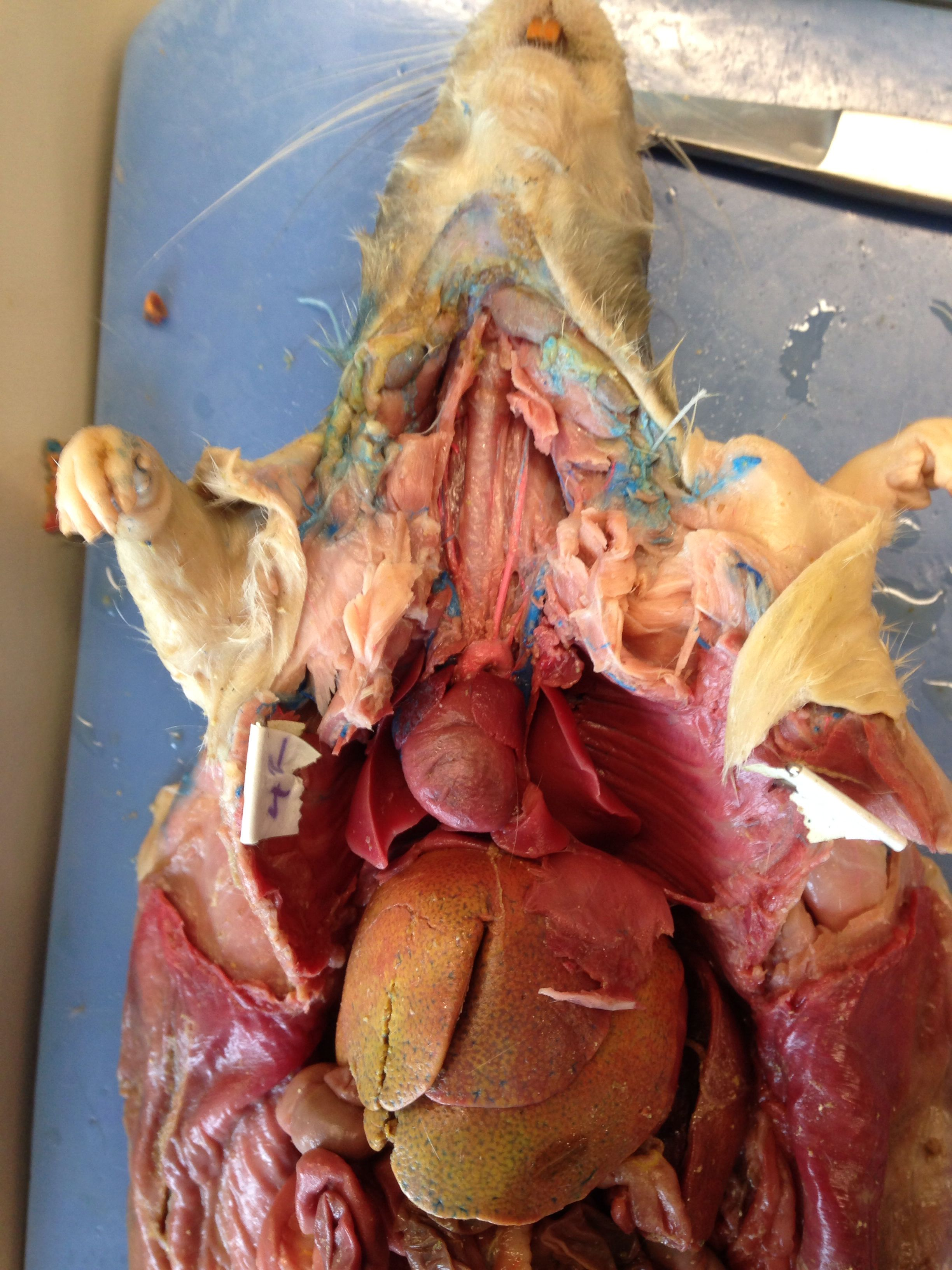 Lovely Rat Dissection