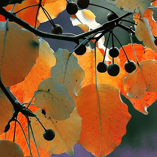 autumn leaves (by B*i*B (on and off))
