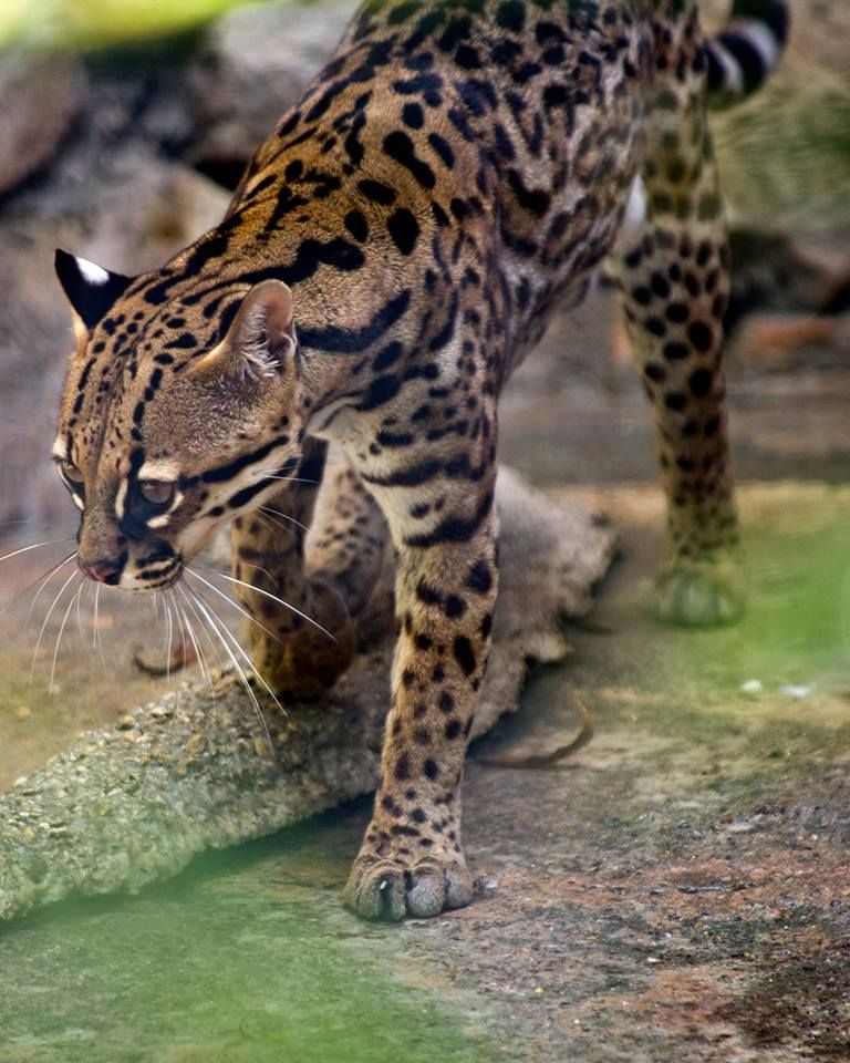Ocelots once roamed from Arkansas to South America. Now