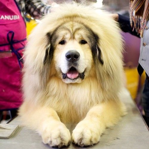 Sasha, Tibetan Mastiff, 138th Westminster Kennel Club Dog Show