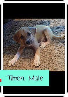 Columbus, OH Boxer/Labrador Retriever Mix. Meet Timon, a