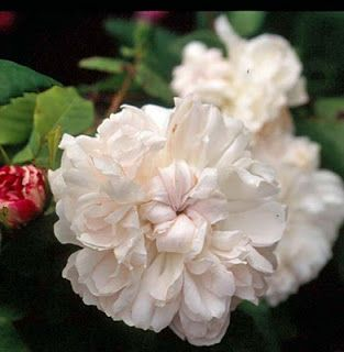 Portland Rose: Rosa 'White Jacques Cartier' (Denmark, 2001)