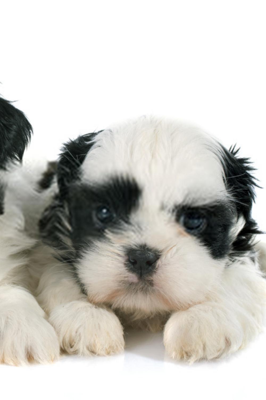 Puppies Shih Tzu Baby Puppies Shih Tzu Shih Tzu Puppy Baby Baby Shih Tzu Shih Tzu Puppy