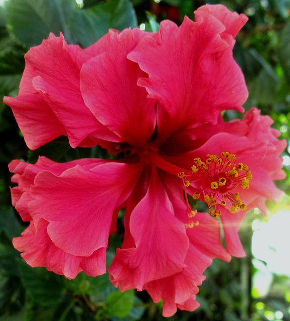 """Hibiscus Care: (Hibiscus Rosa-sinensis """"Pride Of Hankis"""")"""