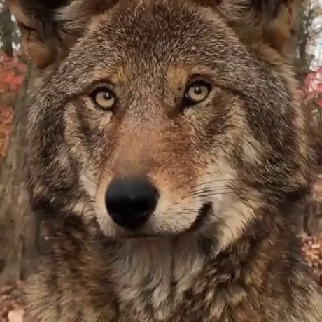 A beautiful red wolf. There are fewer than 25 red
