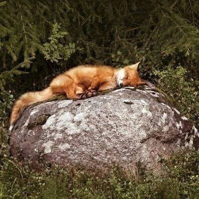 forever #cutefox