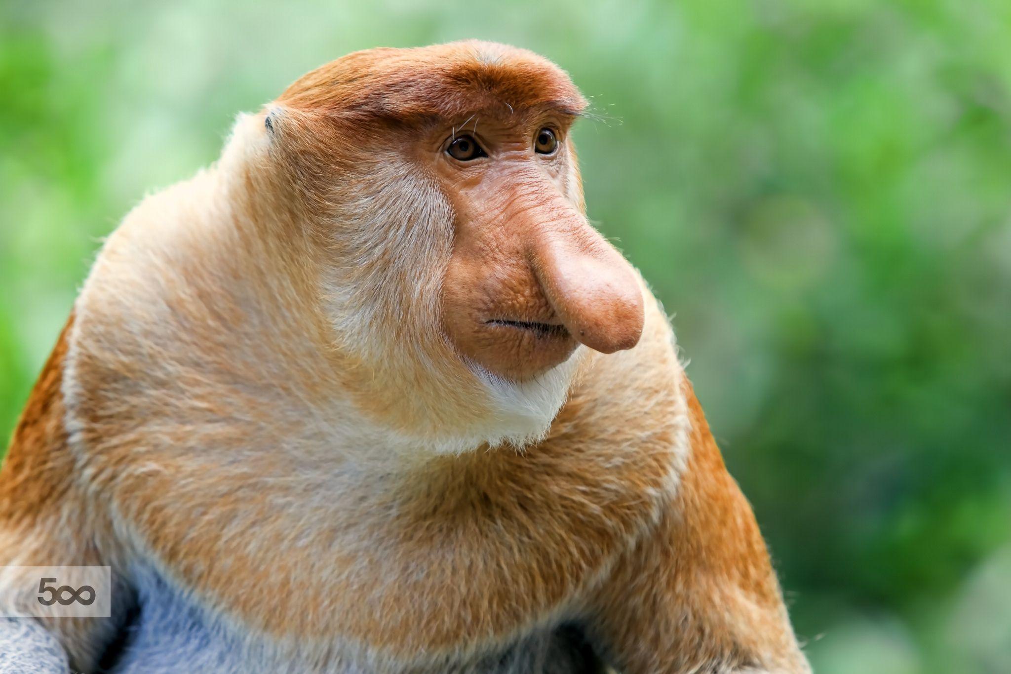 Proboscis monkey in the mangrove, Kota Kinabalu