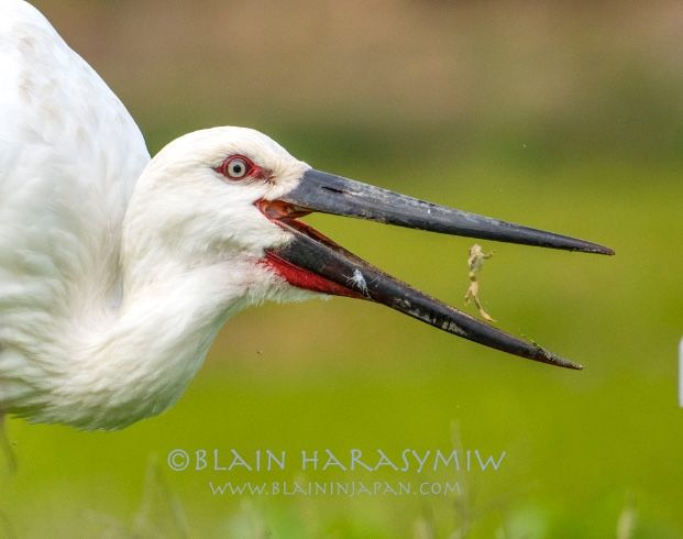 Oriantal Stork My Rarest of 2016 Images by Blain Harasymiw Photography