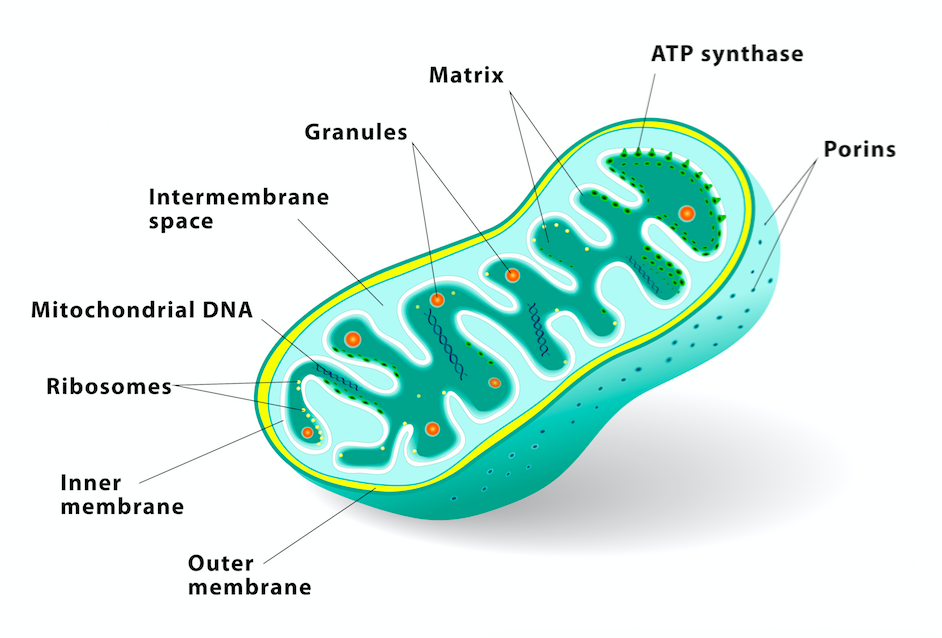 Lyme Bacteria Ribosomes Diagram Complete Wiring Diagrams