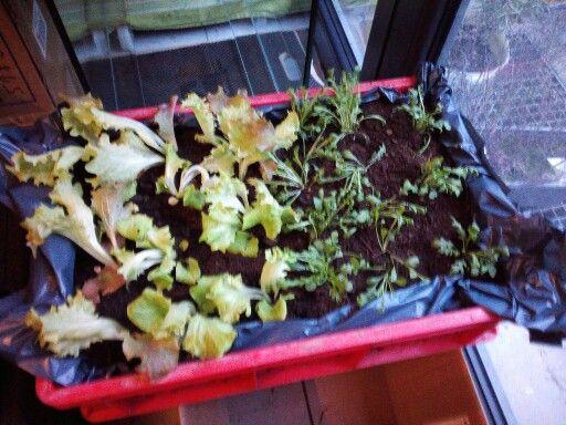 14.03.2015, gekaufter Pflücksalat und Rucola, frisch eingepflanzt.