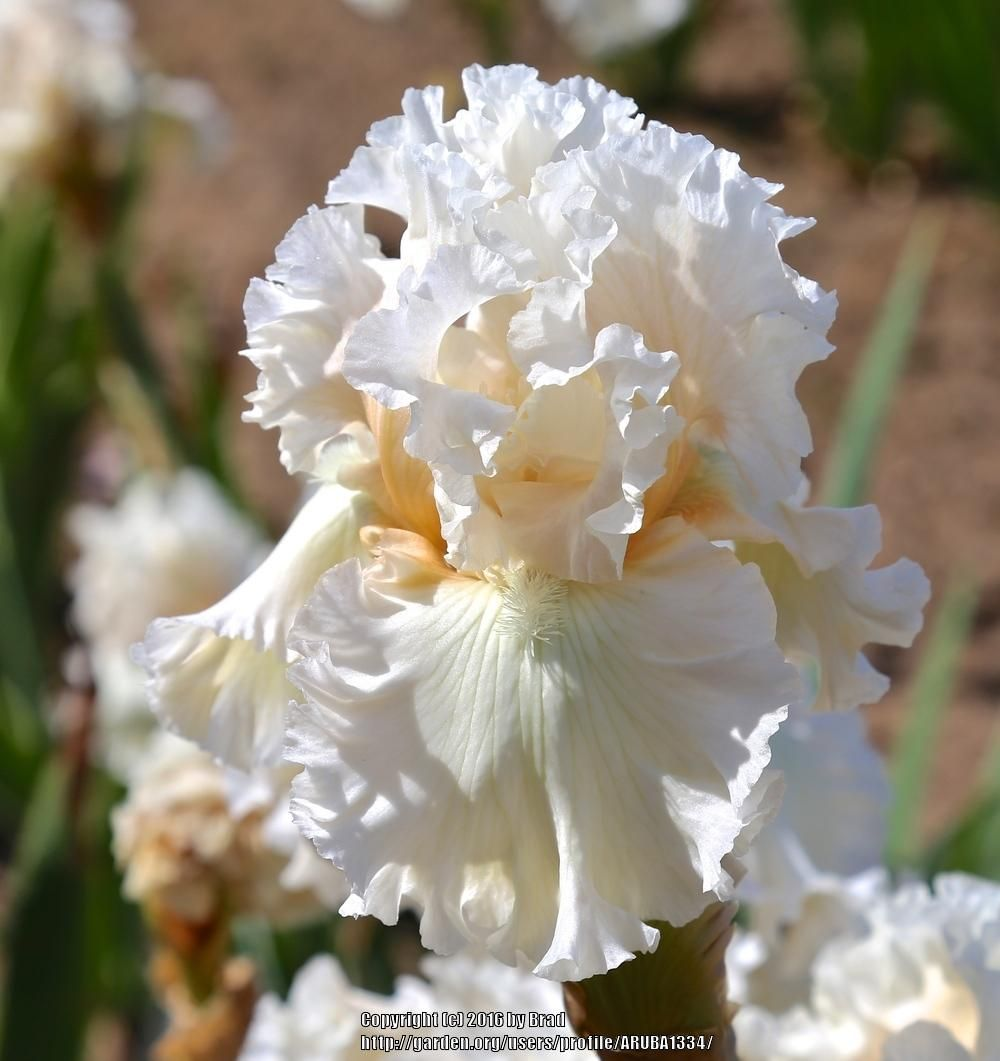 Photo of Tall Bearded Iris (Iris 'Gentle Soul') uploaded by ARUBA1334