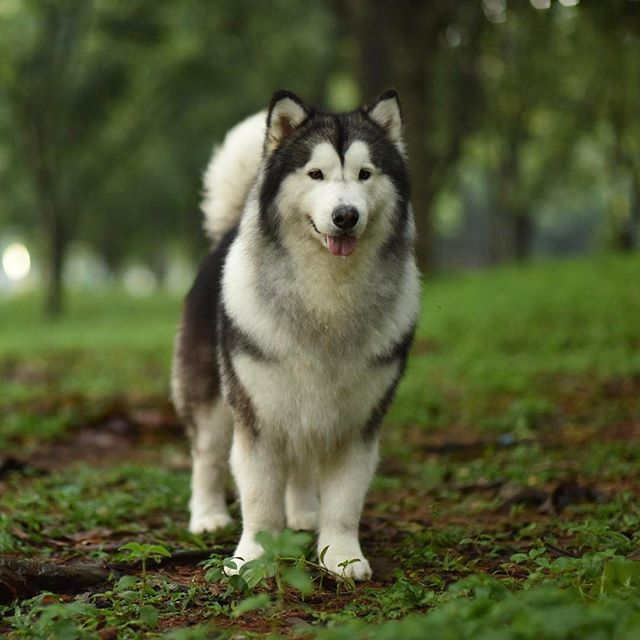 Humble Spiker Is A Three Year Old Malamute Who Lives In Indonesia Writes Humblespiker Dogsofinstagram Tagforlikes Followback Pet Instafollow Love Hewan