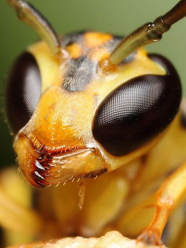 Yellow wasp by Gustavo Mazzarollo | Макросъемки, Забавности