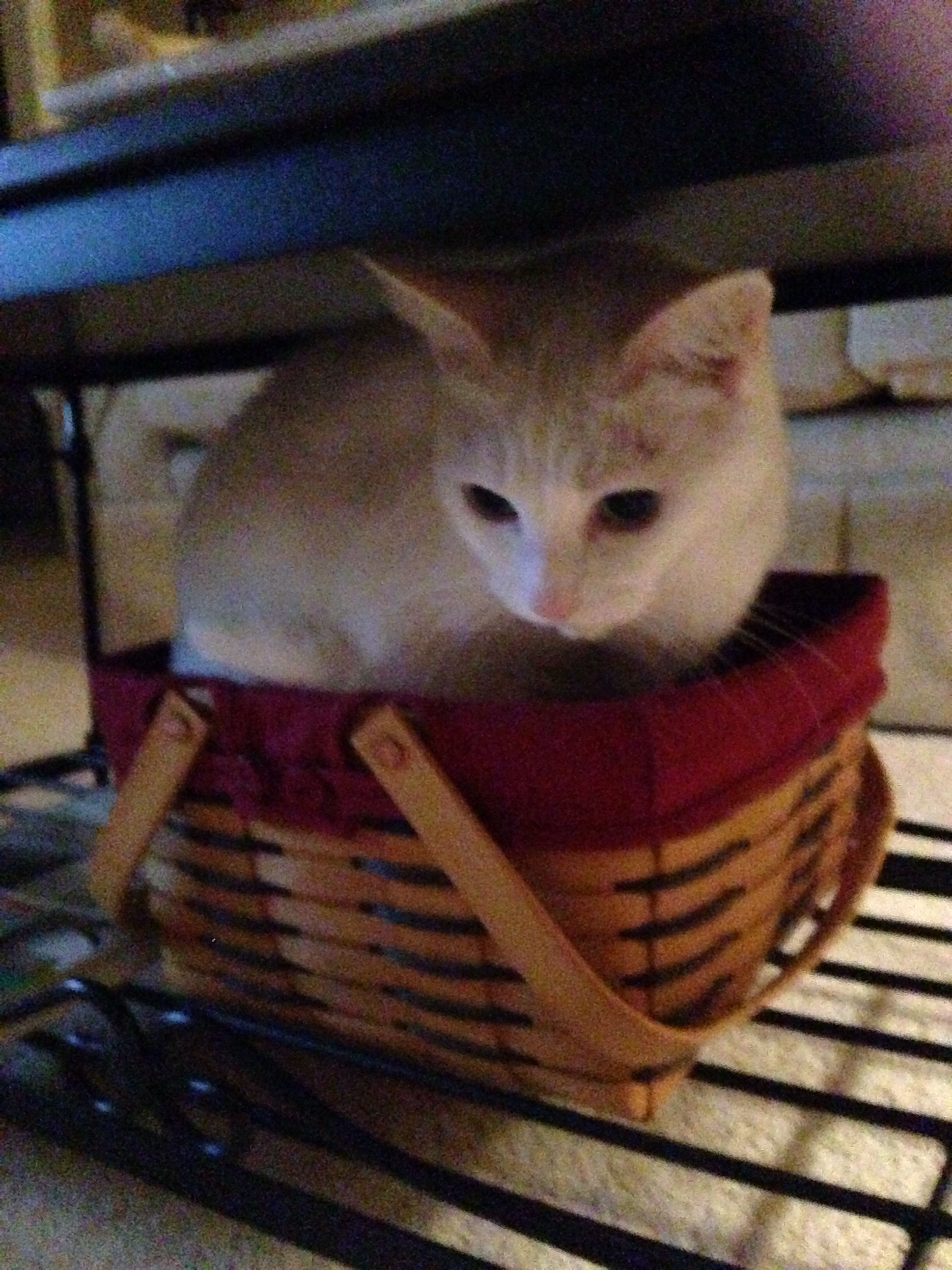 Hiding in longaberger basket fur baby cat baby cats