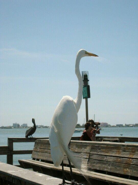 Egret Florida