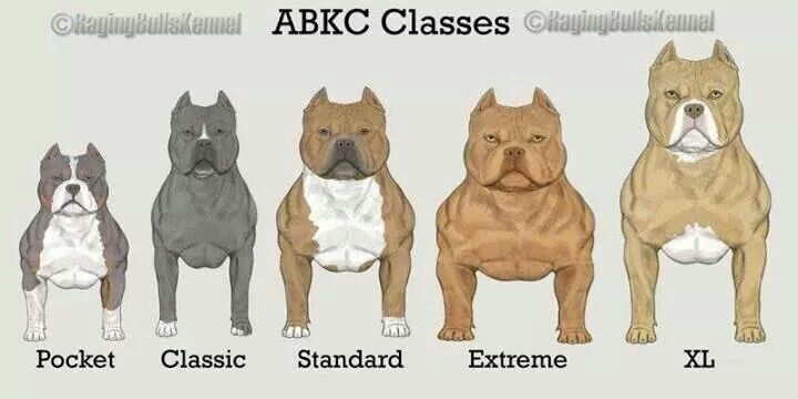 Pin By Asa Ben Israel On American Bully Micro Pocket Classic Standard Xl Xxl Bully Breeds Dogs Bully Dog Pitbull Puppies