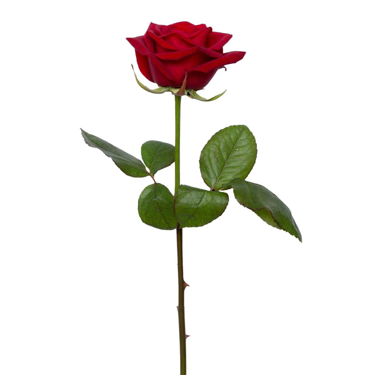Ree Download High Quality Red Single Rose Png Image Transparent Background It S Good Quality Red Rose Png Image Transpare Red Rose Png Rose Background Rose Art