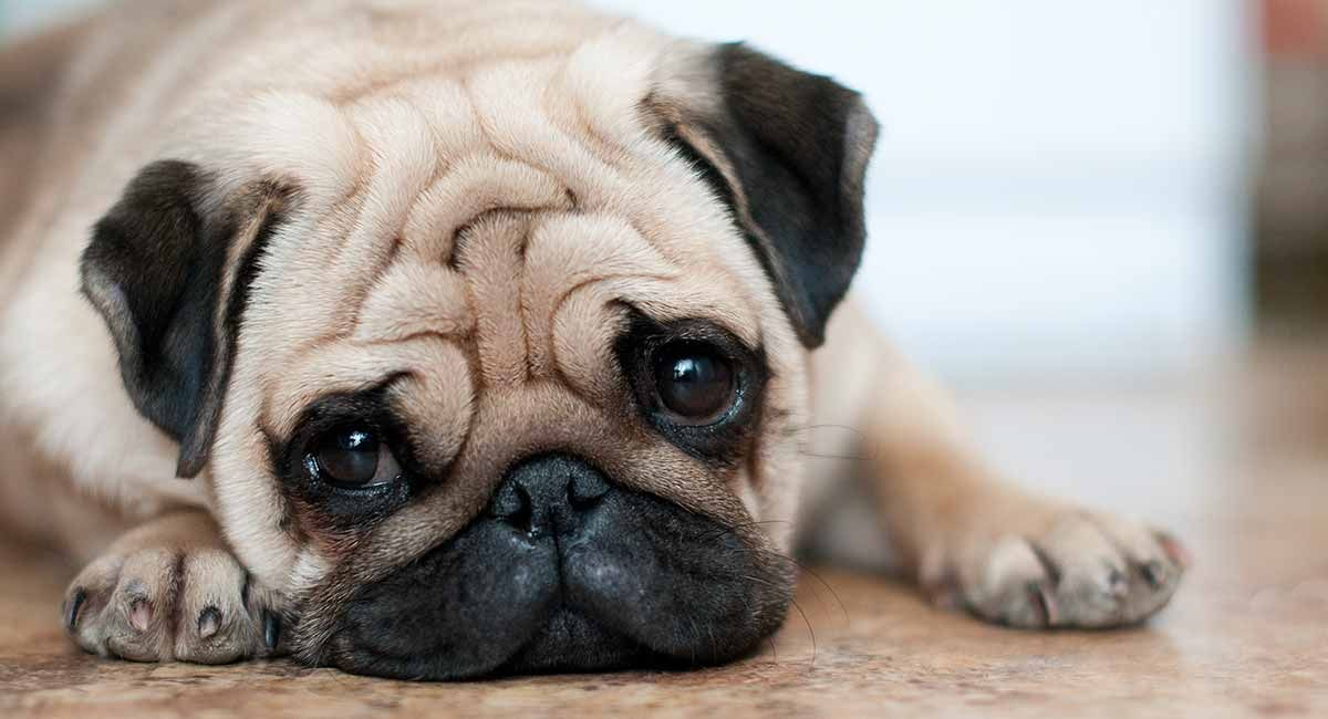 How Long Do Pugs Live And How To Help Them Get Healthier Pugs