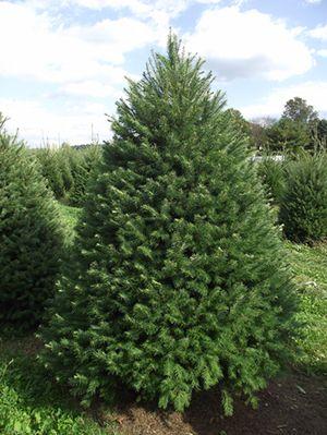 Fir Tree, the traditional Victorian Christmas tree. Tannenbaum ...
