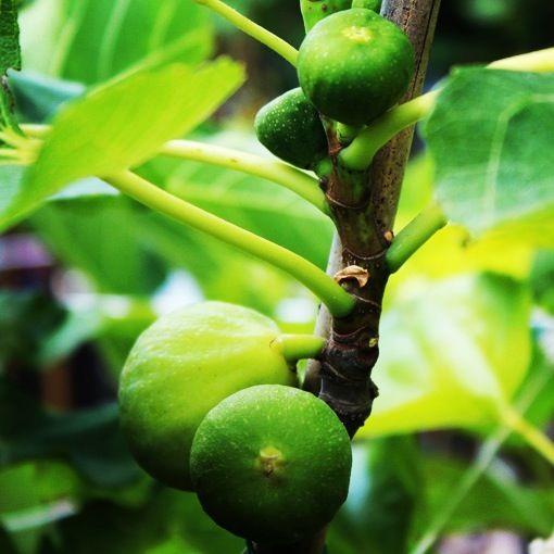 Vendita Online Piante Ad Alberi Da Frutto Sale Online Fruit