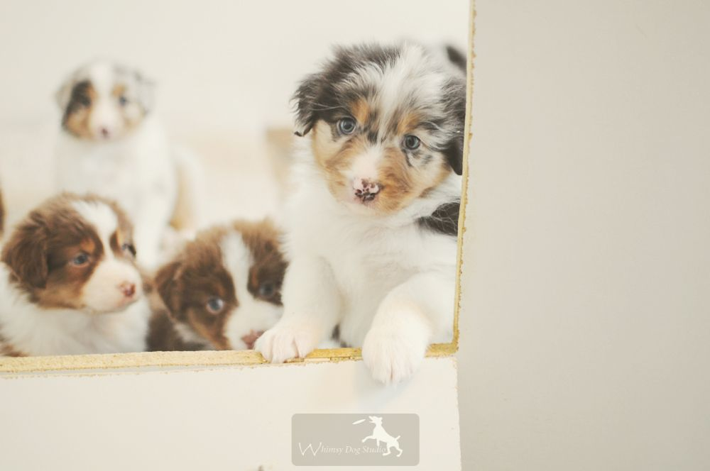 Nadine S Puppies The Cutest Things On The Face Of The Earth Aussie Dogs Puppy Photography Puppies