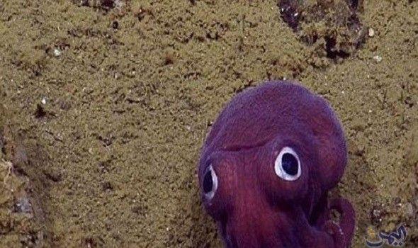 باحثون يكتشفو حبار جاحظ العينين أسفل قاع بحر كاليفورنيا Animals Owl
