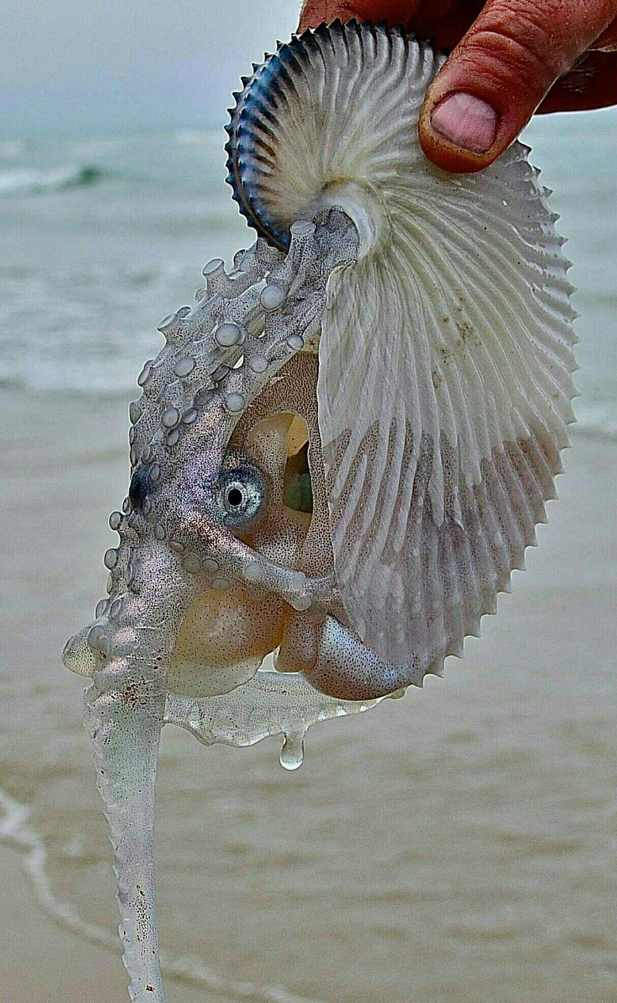 the female argonaut octopus travels the oceans in her paper