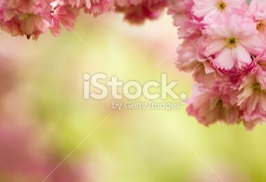 Japanese Cherry Blossom Royalty Free Stock Photo Book Of Job Bible Encouragement Bible Study Scripture