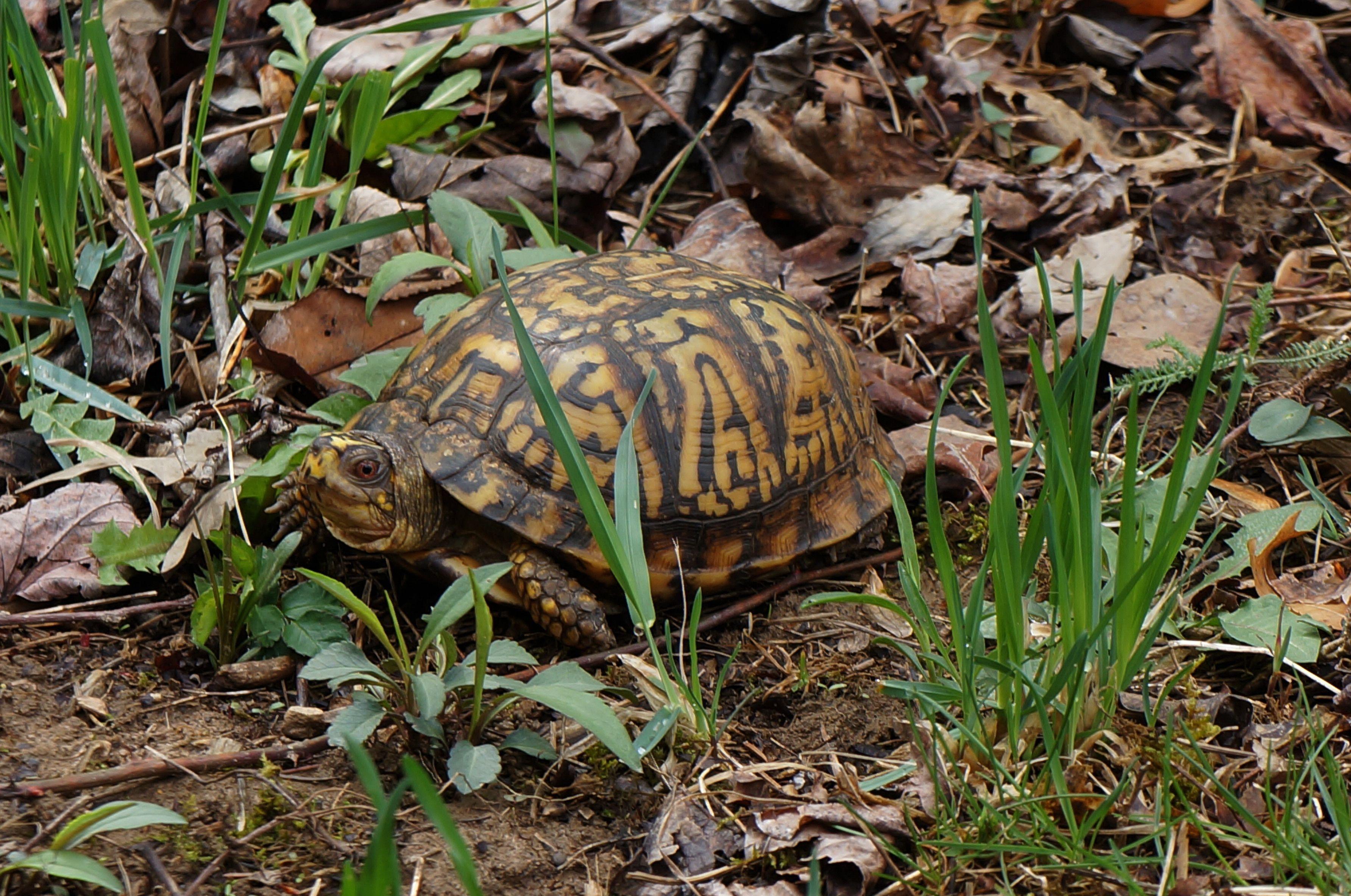 Box turtle box turtle turtle conservation