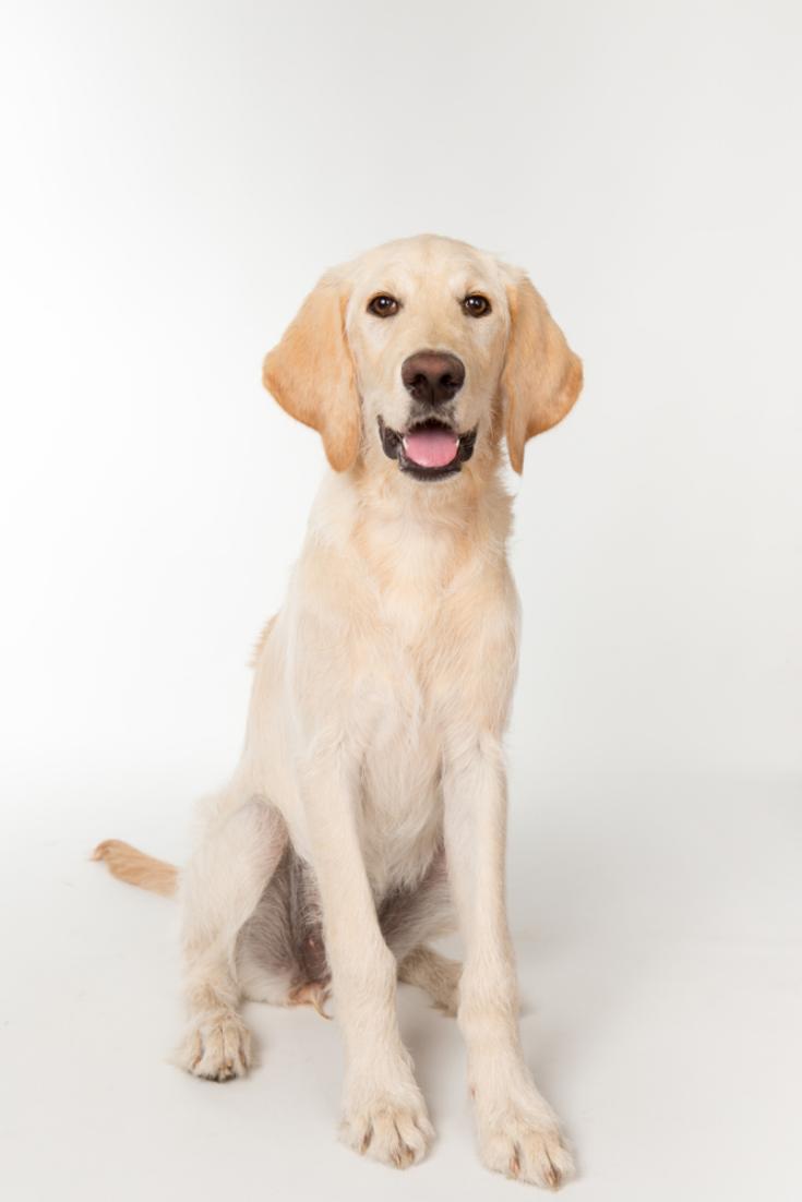 Yellow Lab Puppy Sitting In Studio With White Background Labradorretriever In 2020 Golden Retriever Labrador Labrador Retriever Labrador Retriever Dog