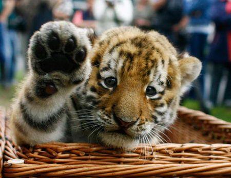 Hi baby!  Bengal tiger cub