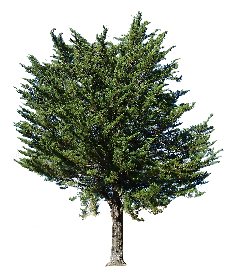 Free Texture - pine tree transparent alpha - Trees - luGher