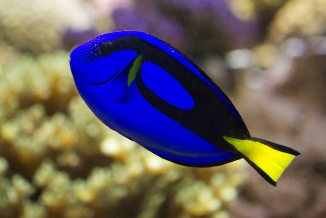 Top 12 Most Beautiful Fish In The World Colorful Fish Beautiful Fish Tropical Freshwater Fish