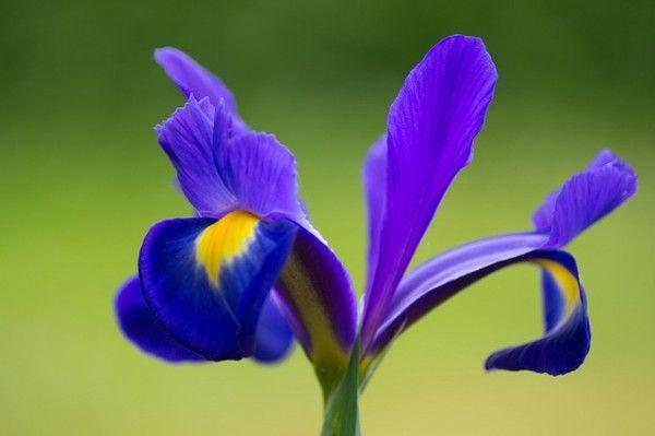 plantas-que-florecen-en-primavera-10 Lirio