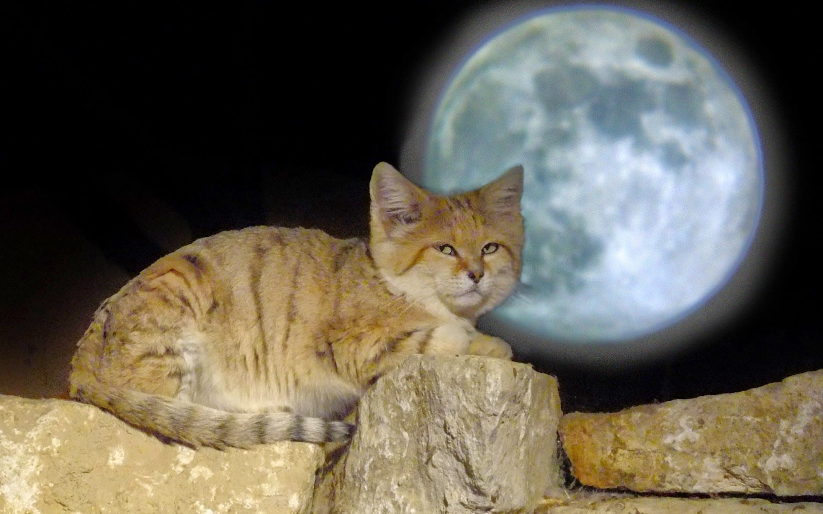 Sand Cat wallpapers HD Beautiful wallpapers collection