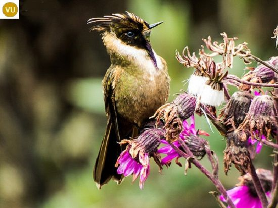https://www.facebook.com/WonderBirdSpecies/ Buffy helmetcrest (Oxypogon stuebelii); Endemic to Colombia; IUCN Red List of Threatened Species 3.1 : Vulnerable (VU)(Loài sắp nguy cấp) || Chim ruồi Helmetcrest hung nâu; Loài đặc hữu Colombia; HỌ CHIM RUỒI - TROCHILIDAE (Hummingbirds).