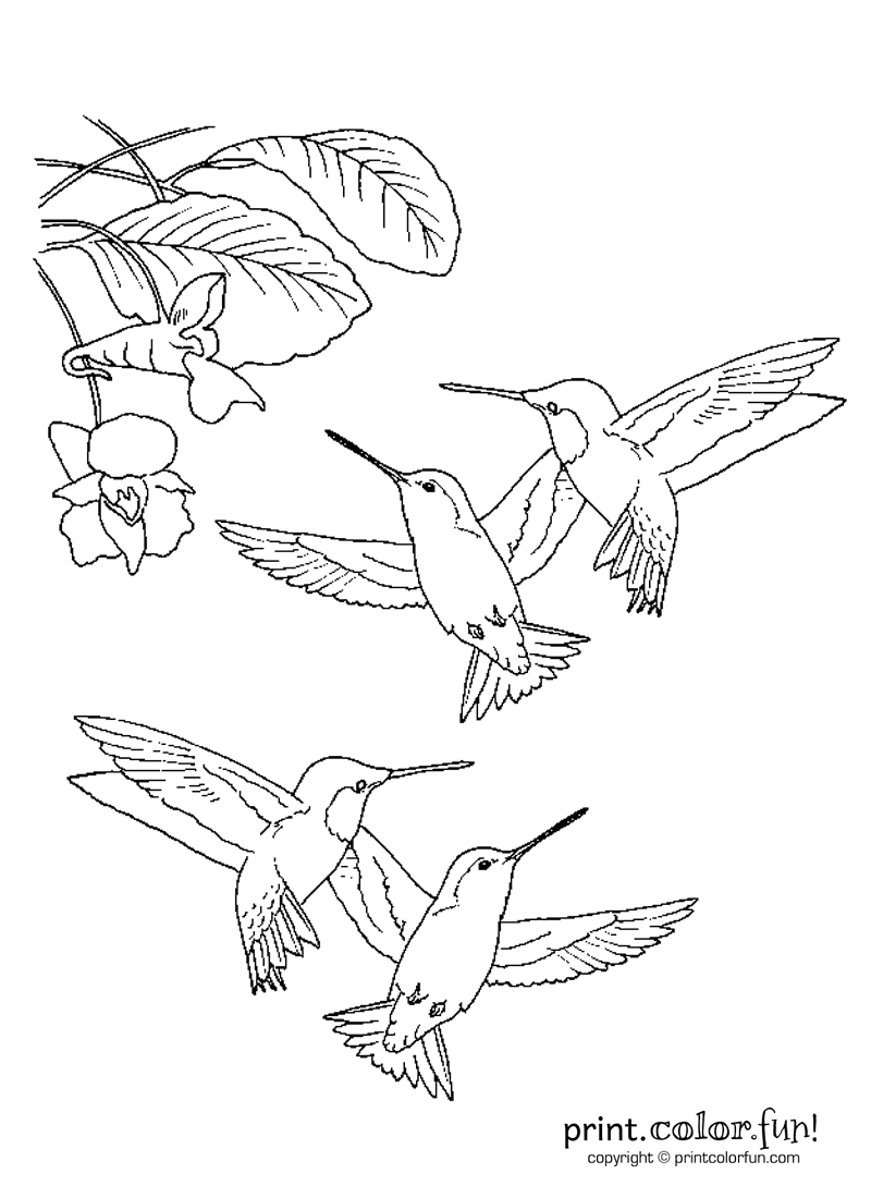 hummingbirds print color fun free printables coloring pages rh pinterest com