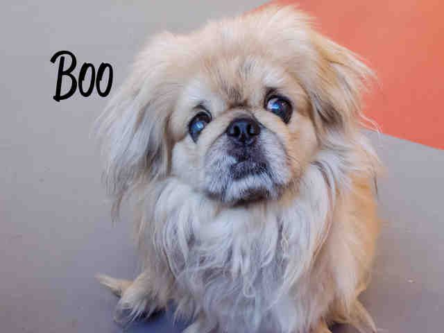Adorable Sweet Senior Special Needs Pekinese Boo Pittsburgh Pa Petharbor Com Animal Shelter Adopt A Pet Dogs Cats Puppi Animals Animal Shelter Dogs